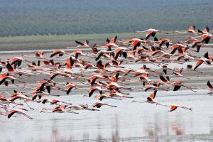 Фламинго в Фуэнте де Пьедра