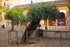 Старое оливковое дерево во дворе мечети