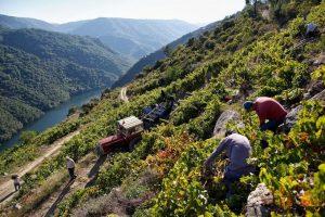 Горные виноградники