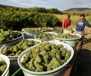 Потрясающе сладкий малагский виноград