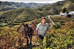 Сбор винограда в горах Малаги